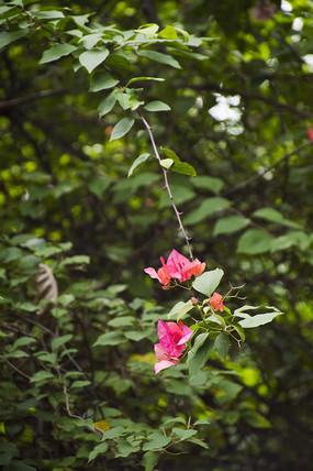 荆棘藤蔓中紫色杜鹃花