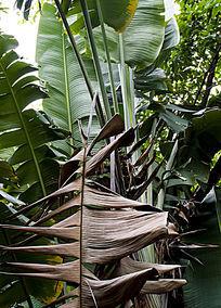 巨大的芭蕉树与枯萎的叶子