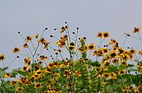 菊花野花风景图片