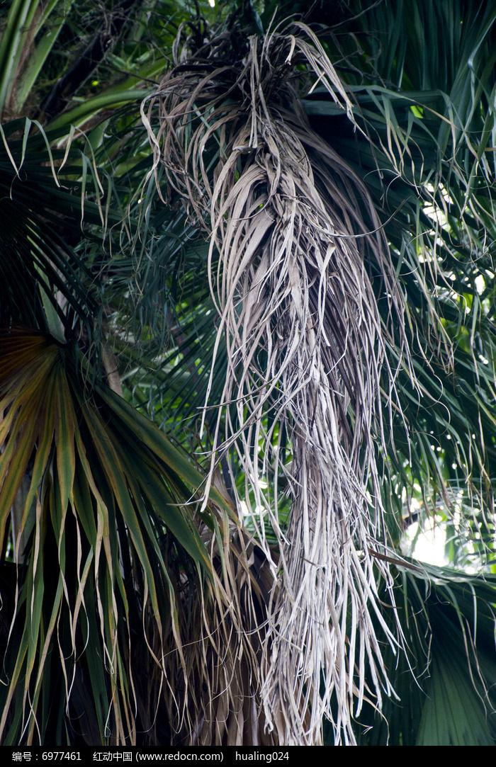 枯萎的椰子树叶子图片