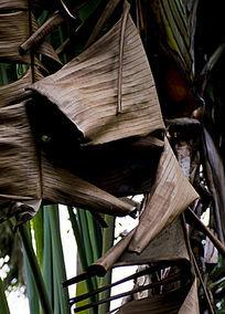 枯萎掉落的芭蕉树树叶