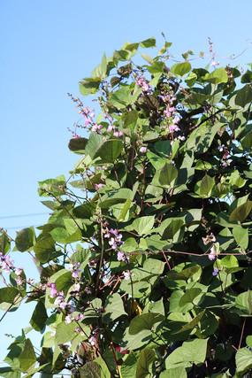 蓝天下一簇扁豆花