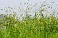 芦花野花风景图片