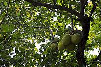 绿叶中的菠萝蜜