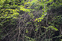 茂名的杜鹃藤