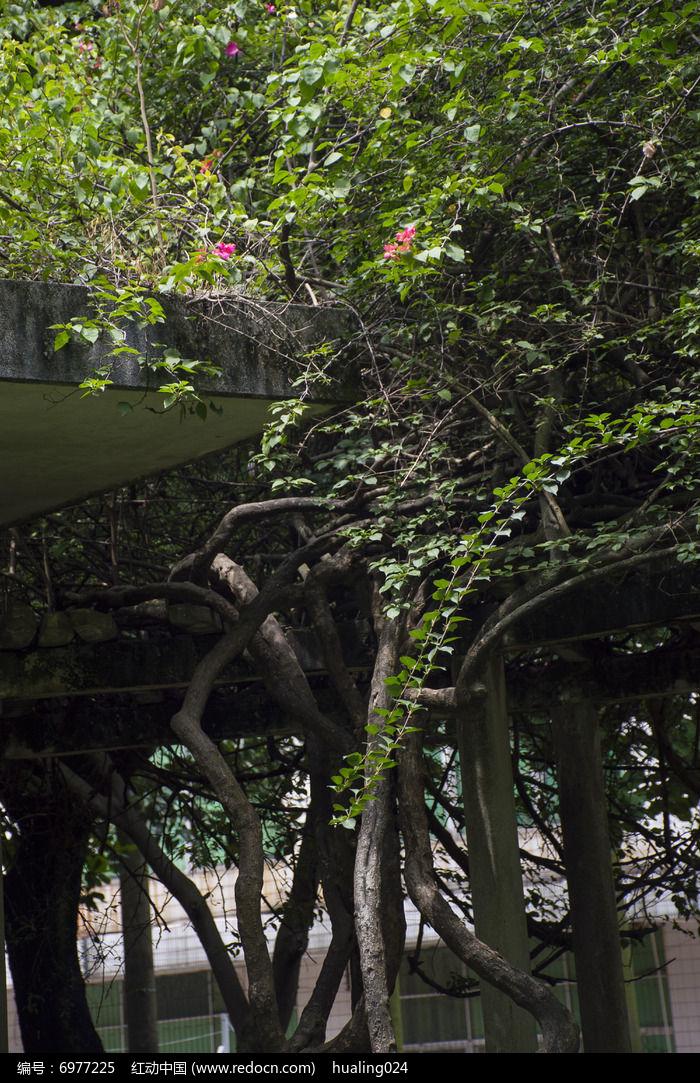 密密麻麻帕莽亭子的巨大藤蔓图片