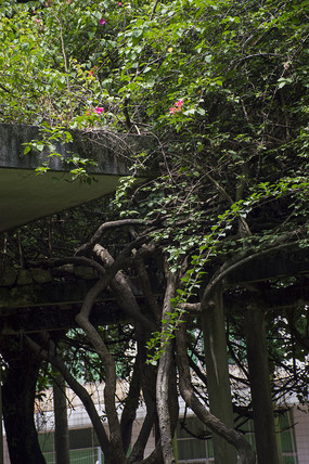 密密麻麻帕莽亭子的巨大藤蔓