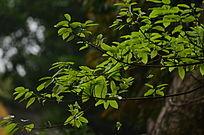 嫩绿的树叶图片