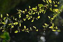 嫩芽树叶特写图片