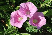 三朵簇生的粉色牵牛花