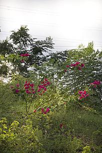 山坡上杂草丛中的野生杜鹃花