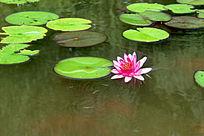 盛开的一朵睡莲花