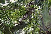 树荫下巨大的芭蕉与枯萎的叶子