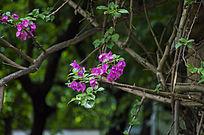 藤蔓中鲜艳的杜鹃花
