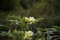田地间的秋葵