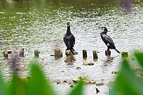 停在木桩上的两只鹭鸟图片