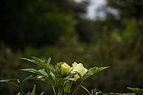 唯美背景虚化的秋葵