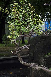 形状怪异的杜鹃树