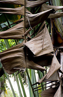 阳光下垂直掉落的芭蕉树叶子