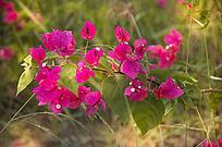 阳光下的野生杜鹃花