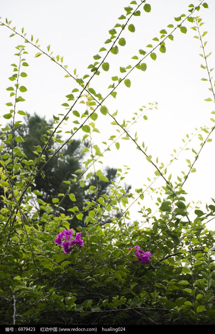阳光下荆棘藤蔓中的紫色杜鹃花图片