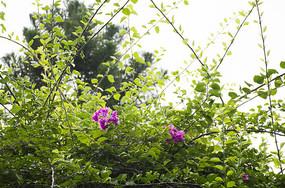 阳光下荆棘藤蔓中的紫色杜鹃花