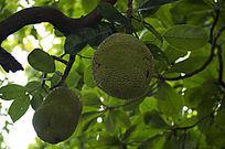 阳光下青色未成熟的菠萝蜜