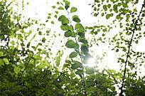 阳光下唯美翠绿的杜鹃藤蔓