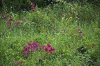 野草丛中的紫色野生杜鹃花