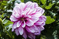 一朵紫色的小丽花