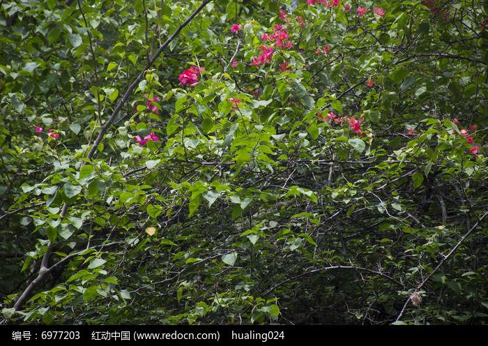隐藏在密密麻麻的枝叶中的杜鹃花图片