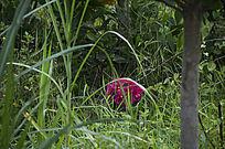 杂草丛中的野生杜鹃花