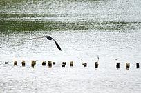 在湖面上飞翔的鹭鸟图片