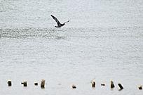 展翅飞翔的鹭鸟图片