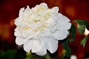 绽放的牡丹花