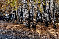 白桦林落叶
