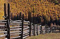 白桦林与栅栏