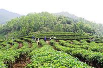 茶农和茶园