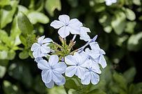 淡蓝色的花朵