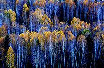 禾木白桦林