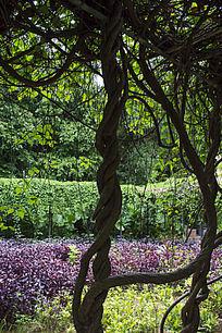 花卉种植基地粗大的藤蔓