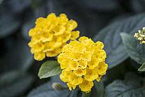 黄色的美女樱花卉