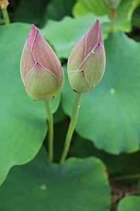 两朵并列生长的花蕾