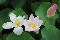 两朵盛开的复色荷花与花蕾