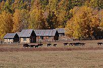 马群经过小木屋