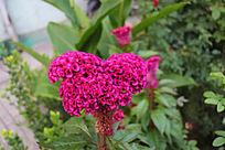 美丽的红色鸡冠花