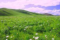 牧场盛开的芍药花
