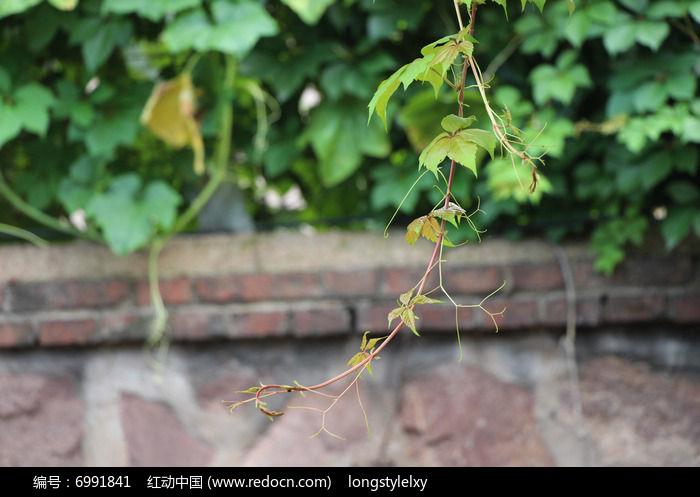 原创摄影图 动物植物 树木枝叶 爬山虎嫩绿的枝桠