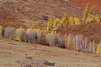 山坡上的白桦林
