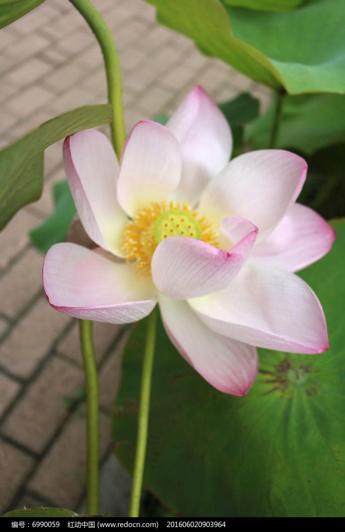 盛开粉色荷花与莲茎图片